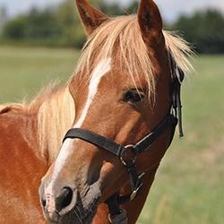 Ecuries du Vignoble - Chevaux et poneys à vendre